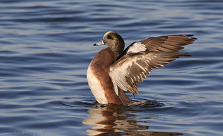 American Wigeon wing flap