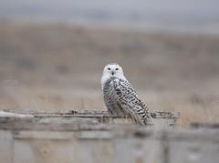 Snowy Owl (Christopher Lindsey) Tags: birds birding snowyowl wallawallacounty washington winter