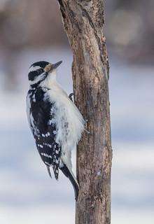 Pic Chevelu  (femelle)  -  Hairy  Woodpecker
