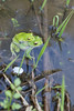 Rhacophorus schlegelii (kenta_sawada6469) Tags: amphibian amphibians nature japan amphibia herptile herptiles wildlife herping water freshwater frog frogs