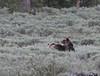 Grizzly bear (Ursus arctos) (TG23-Birding in a Box) Tags: grizzlybear ursusarctos bear bears americanbrownbear yellowstonenationalpark yellowstone hunt sage
