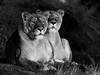 Observing Their Territory . (pitkin9) Tags: animals lionesses pantheraleo blackandwhite observing territory together