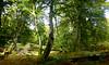 New Forest NP, Hampshire, England (east med wanderer) Tags: england hampshire newforestnationalpark uk markashwood woodland beech oak bracken