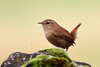 Wren on Stone Wall (717Images) Tags: wren small wall stone moss active nature wildlife british wild brown