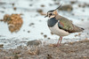 Lapwing (Gareth Keevil) Tags: birds december detail feather garethkeevil iridescence lapwing lowwintersun nikon nikon500mm nikond500 peewit sunshine telephoto uk wwtslimbridge wild winter