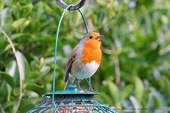 Sing For Your Supper.... (law_keven) Tags: robin robinredbreast gardens garden gardenbird catford london england birds avian wildlife wildlifephotography photography