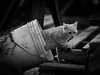 21606 - Rory (Diego Rosato) Tags: rory cat gatto pet animale animal secchio bucket bianconero blackwhite nikon d700 85mm rawtherapee