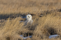 December 27, 2017 - A rare Snowy Owl pays a visit to Westminster. (Tony's Takes)