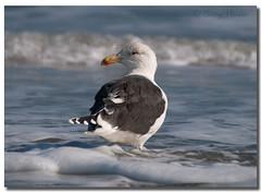 Great black-backed gull (Betty Vlasiu) Tags: great blackbacked gull larus marinus bird nature wildlife chincoteague island ocean atlantic