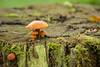 Fungi (Future-Echoes) Tags: 4star 2015 bokeh decay depthoffield dof fungi nature stump wickhambishops wood