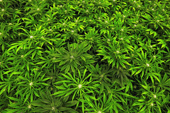 bs-md-medical-marijuana-injunction-20170515 (Watcher1999) Tags: cannabis marjuana medicalherbs medicalcannabis medicalmarijuana ganja weed smoking legalize joint