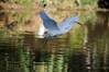 flyby (mara.arantes) Tags: egret lake sunset fly bird aquatic water nature naturaleza