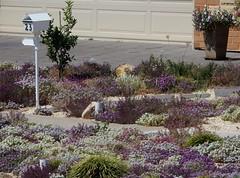 Alyssum Fanfare (mikecogh) Tags: alyssum flowers colour color purple letterbox mailbox 23 underdale