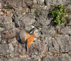 Kingfisher with lunch (Mukumbura) Tags: female kingfisher bird fish fishing catch water splash flying wildlife england alcedoatthis bishopspalace moat wells somerset nature rock perch
