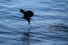 But I wanted a cheeseburger (David Sebben) Tags: bald eagle mississippi river quadcities fish cheeseburger raptor nature winter cold