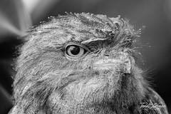Tawny Frogmouth (ToddLahman) Tags: tawnyfrogmouth frogmouth tawny animal animalambassador beautiful outdoors sandiegozoosafaripark safaripark canon7dmkii canon canon100400 closeup portrait escondido eyelock blackandwhite