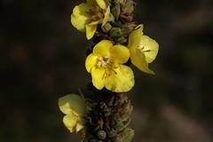 Wild Flower (Hugo von Schreck) Tags: hugovonschreck flower blume blüte macro canoneos5dmarkiii makro tamronspaf180mmf35dildifmacro11