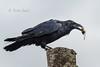 Common Raven 20171117_6780 (GORGEous nature) Tags: columbiariver commonraven corvidae skamaniaco stevenson vertebrates washington bird crgnsa fall feeding water november ©johndavis