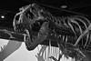 National Museum of Natural History (PolMi) Tags: musem washington trex