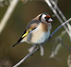 Chardonneret élégant (jean-lucfoucret) Tags: carduelis european goldfinch plumage passériformes fringillidés passereau nikon d500 nikkor 200500 chardonneret élégant