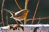 Auprès de mon arbre (Ariège) (PierreG_09) Tags: seix ariège pyrénées pirineos couserans faune oiseau jardin rougegorgefamilier erithacusrubecula europeanrobin passériformes muscicapidés rotkehlchen punarinta petirrojoeuropeo petirrojo