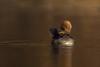 Hooded Merganser Female (nikunj.m.patel) Tags: hooded merganser nature beauty wild wildlife outdoors nikon waterfowl ducks migration pond water elegant
