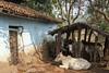Kawardha - Chhattisgarh - India (wietsej) Tags: kawardha chhattisgarh india sony a700 tamron 1750 cattle cows decay