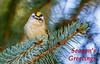 Golden-crowned Kinglet (Bob Gunderson) Tags: birds botanicalgardens california goldengatepark goldencrownedkinglet kinglets kingletsgnatcatchers northerncalifornia regulussatrapa sanfrancisco coth coth5