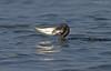 A Jumbo Catch!!! (Anirban Sinha 80) Tags: nikon d610 fx 500mm ed vrii n g fish bird cormorant hunting prey water nature bokeh predator 2xtc