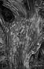 Contours (I) [BW] (Modesto Vega) Tags: nikon nikond600 d600 fullframe tree treetrunk fallentree drytree wood forest pineforest needles pineneedles drypineneedles texture curves blackwhite blancoynegro bw monochrome noiretblanc schwarzundweiss monocromo contour