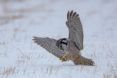 Northern Hawk Owl (Peter Stahl Photography) Tags: northernhawkowl owl hawkowl winter snow hunting