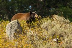 Lip-smacking good {Explored} (ChicagoBob46) Tags: cinnamonblackbear cinnamon blackbear bear yellowstone yellowstonenationalpark nature wildlife explore explored coth5 ngc