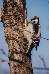 IMG_1598 (She Likes Odd) Tags: hairywoodpecker woodpecker canonphotography canon60d northwesternontario