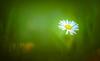 Daisy (Dhina A) Tags: sony a7rii ilce7rm2 a7r2 kaleinar mc 100mm f28 kaleinar100mmf28 5n m42 nikonf russian ussr soviet 6blades daisy flower bokeh
