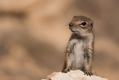 Barbary Ground Squirrel (Wouter's Wildlife Photography) Tags: barbarygroundsquirrel groundsquirrel squirrel mammal animal nature naturephotography wildlife wildlifephotography canaryislands atlantoxerusgetulus