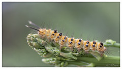 Asparagus for lunch - hairy caterpillar (PJDphotos) Tags: caterpillar