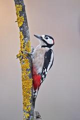 Dendrocopos major (nonnogrizzly) Tags: dendrocoposmajor picchio picchiorossomaggiore uccello aves natura fauna albero bosco