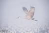 Sandhill Crane (Ray Robles) Tags: crane bosque del apache bird photography birding watching nikon sandhill