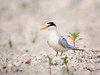Isn't She Lovely (Kathy Macpherson Baca) Tags: animal animals birds aves bird tern chicks beach earth migrate world planet nest feathers nature wildlife endangered