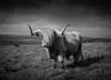 Highland in the Highlands (Greg Hitchcock) Tags: highland highlands cow bull cattle monochrome blackandwhite scotland inverness livestock animal mammal fujifilm x100s