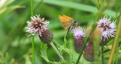 Small Skipper. (standhisround) Tags: butterfly smallskipper insect runnymede surrey hbbbt beautifulbugbuttthursday england uk