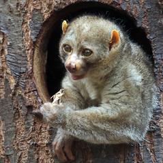 potto artis BB2A9474 (j.a.kok) Tags: potto zuidamerika southamerica animal artis nocturnal mammal zoogdier dier