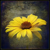 A Flower Can Be a Love Letter (Brian 104) Tags: yellow flower daisy texture overlay message