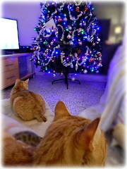 Ragnar, Freja and the Christmas Tree (Chris C. Crowley- Busy for a week or two!) Tags: ragnarfrejaandthechristmastree ragnar freja christmas2017 christmastree lights ornaments decorations tv familyroom