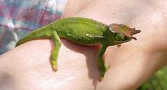From above (LeftCoastKenny) Tags: madagascar day13 lamandrakanaturefarm chameleon