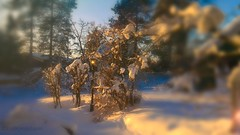 My Snow Globe garden, do you dare shake it? (evakongshavn) Tags: snowglobe garden winter winterwonderland winterlandscape natur nature naturphotography naturephotography snowfall snow snowy snowtree tiltshift perspective 7dwf lifethroughahole