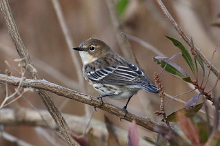 Yellow-rumped Warbler...6O3A4311A