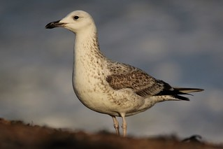 Caspian Gull Larus cachinnans Dungeness NNR