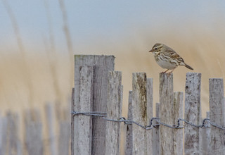 Savannah Sparrow (Ipswich)
