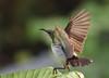 purple rumped sunbird (praveen.ap) Tags: purple rumped sunbird purplerumpedsunbird birdinflight ngc animal planet